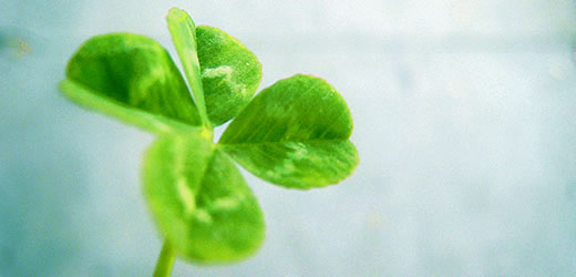 Four-leafed clover