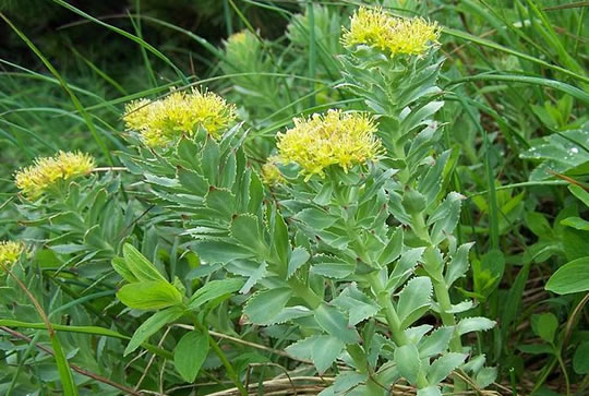 There Are Effective Herbs For Depression With Few Side-Effects post image